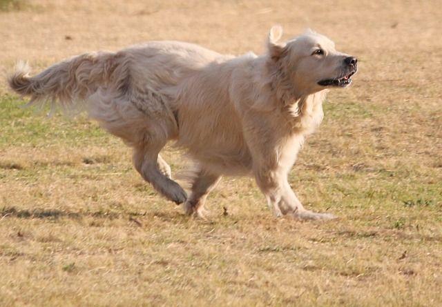 Genialny Golden retriever – czarny, biały i złoty. Doskonały pies rodzinny BS75