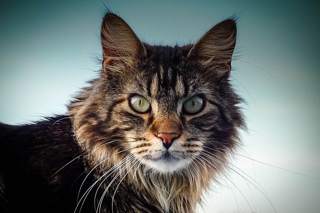 Maine Coon Kot Który Zachowuje Się Jak Pies Blog Salon24 Magazyn