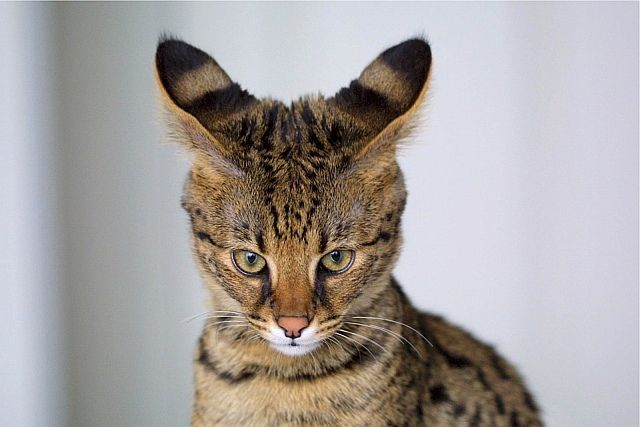 Wszystkie nowe Kot savannah - afrykański serwal w domu. Piękna, droga i VN77
