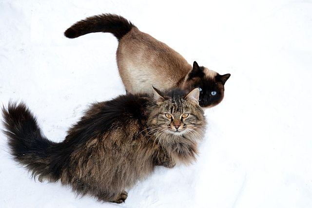 Kot Syberyjski Cierpliwy Wobec Dzieci Polecany Dla Alergików