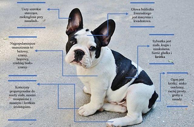 Buldog Francuski Wesoły Rodzinny Pies Idealny Przyjaciel