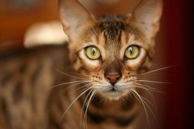 Zaawansowane Kot bengalski - namiastka dzikiego kocura w domu - blog Salon24 RF52