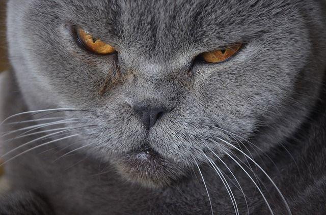 Kot Brytyjski Dżentelmen Z Krainy Czarów Blog Salon24 Magazyn
