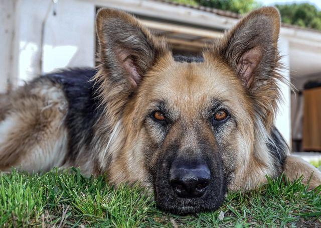 Owczarek Niemiecki Pies Służbowy Wierny Domownik Niezły