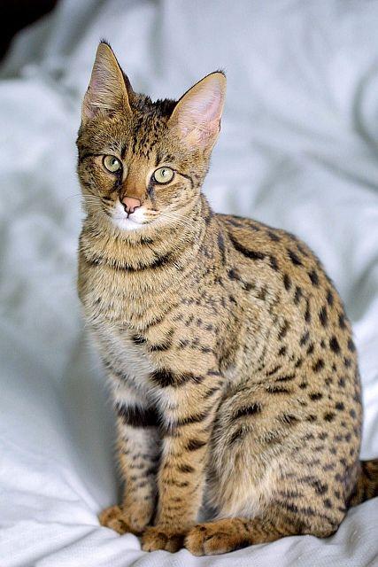 Bardzo dobra Kot savannah - afrykański serwal w domu. Piękna, droga i JJ15